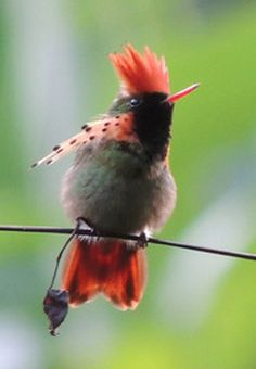Birds and Wildlife Gardens of Guatemala:  A FAM trip sponsored by INGUAT.  Photo Tufted Coquette © Megan Crewe.