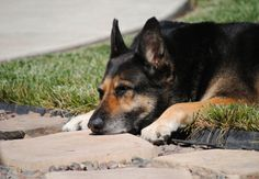 German Shepherd Stands Watch Over His Owner's Grave -- For Six Years