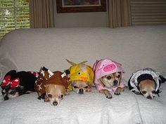 Awww...chihuahua cuteness in a row. #chihuahua