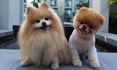 Dünyanın En Sevimli Köpeği: Boo