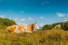 Cow laying on the grass