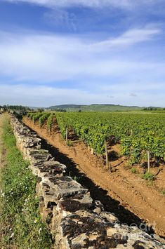 Vineyard. Cote De Beaune. Burgundy. France.