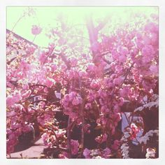 Cherry Blossom in full bloom, just before my birthday ~ always make me smile!