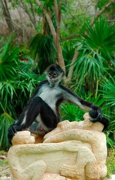 Spider monkey in Xcaret, Riviera Maya. They are also found in tropical forests of Central and South America, from southern Mexico to Brazil.