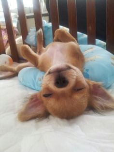 Sleeping Chihuahua.  More animal love here>> http://blog.furlesscosmetics.com.au/category/animals/