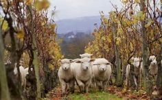 Following a successful trial in 2011, Nyetimber has become the first winery in the UK to use sheep to help with vineyard ground management over the winter. AWESOME!!!