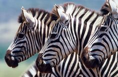 Zebra by safari-partners, via Flickr