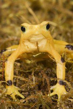 Panamanian Golden Frog a.k.a. Harlequin Frog, Atelopus zeteki