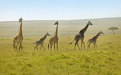 #WildlifeSafariEastAfrica offers the greatest show of wild life on earth? To see the wilderness adventure. Know more @ http://www.naturesafariuganda.com/blog/