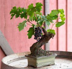 tiny bonsai that bears fruit