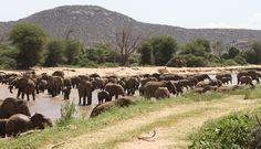 Elephants crossing Ewaso Ng'iro river in Samburu National Reserve Kenya
