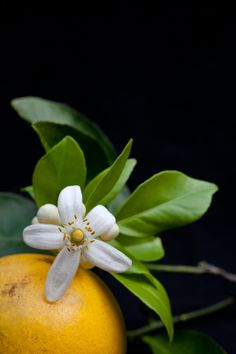 florida fruit trees, orange blossom
