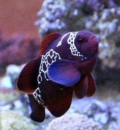 Beautiful purple fish