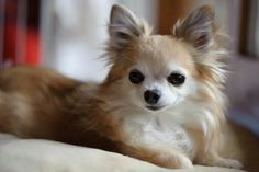 Pretty Long Haired Chihuahua