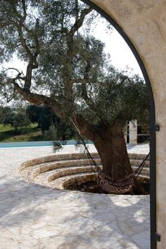 Stone seating around old olive tree