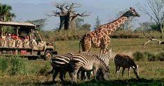 Animal Kingdom - Lugar para visitar los animales de dferentes maneras divertidas