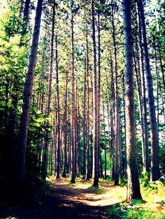 pine forest http://annalouisemouldphotodiary.tumblr.com/