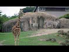 Giraffe, lion, and kinkajou enrichment designed by Stanford students for the San Francisco Zoo. Looks like a great way to get students involved and help people learn about zoos and enrichment! (the video shows the article)