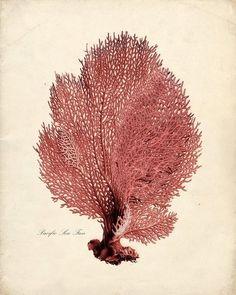 :: Vintage Sea Coral Illustration ::