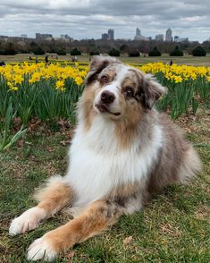 Cute Baby Puppies, Super Cute Puppies, Aussie Puppies, Baby Animals Pictures, Cute Animal Photos, Cute Animal Pictures, Cute Dogs Breeds, Dog Breeds, Really Cute Dogs