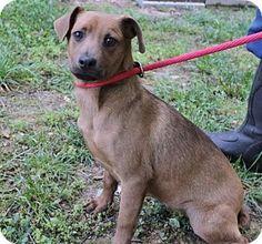 Hagerstown, MD - Dachshund/Feist Mix. Meet Samona B Lower fee, a puppy for adoption. http://www.adoptapet.com/pet/15537876-hagerstown-maryland-dachshund-mix