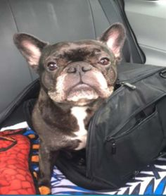 """Please join us in congratulating our January's """"Paw-Parazzi winner Lucy! This 5 1/2 year-old French bulldog loves long rides and puppy massages.   We love being a pet-friendly community at the Apartments at CityCenter.  Make sure you stop by the Concierge desk with your furry friend for a special treat."""