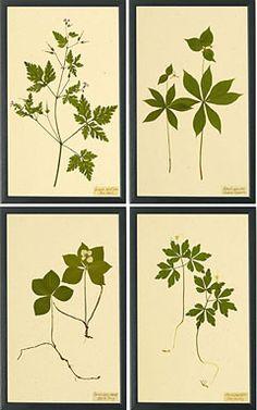 free botanical prints | Botanical Prints II | Prints and Graphics | Shaker Workshops