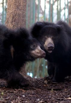 Sloth bears by SSipple