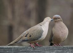 Mourning doves in Pennsylvania. Photo by Susan Landis.
