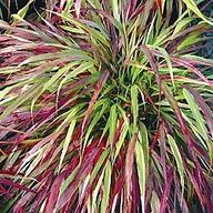 Red Wind Ornamental Grass    Brilliant Autumn Color        A flowing mound of green grass with blades that turn a brilliant red for the fall season. Perfect for cascading over a bank or retaining wall. Plants grow 2-3 ft. with equal spread, performing best in full sun to partial shade. Potted plants. Zones 5-9.