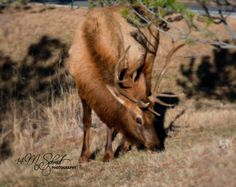 Elk Evergreen Colorado Dec2014-0762 by MSchmidtPhotography.deviantart.com on @DeviantArt