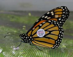 Tagged monarch © Monarch Watch