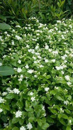 Good Morning Flowers, Most Beautiful Flowers, Pretty Flowers, White Flowers, Colorful Flowers, Beautiful Places, Moon Garden, Dream Garden, Beautiful Flowers Wallpapers