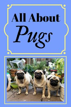 #Pugs #pugs breed characteristics, history, health, book review, pros and cons, everything you need to know about the Pug #breed of #dog.