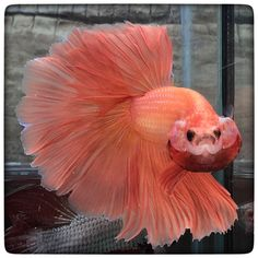 AquaBid.com - Orange Emperor (1823)