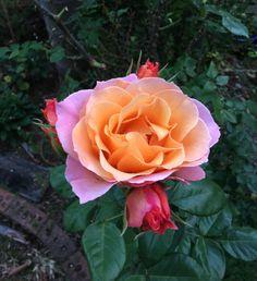 Dad's Roses.