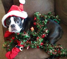 """See our website for additional details on """"boston terriers"""". It is an exceptional spot to learn more. Boston Terriers, Boston Terrier Temperament, Boston Terrier Rescue, Boston Terrier Love, Terrier Breeds, Terrier Puppies, Continental Bulldog, English Terrier, American Bull"""