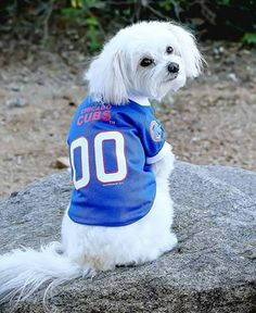 Did someone say Cubs Baseball is on? Maltipoo, Havanese, Chicago Cubs Fans, Dog Mixes, Cubs Baseball, Fluffy Dogs, Maltese Dogs, Bichon Frise, Dog Photos