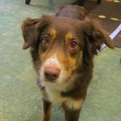 "Emma is a beautiful 6 year old Australian Shepherd that was just adopted from the RISPCA.  She left Up Country sporting our new Flower Field collar and leash set, perfect for spring! Her new parents said, ""We found her online and came to meet her the next day to fill out the application. We fell in love with her! She is sweet, active and good with cats."" Let's just make sure those cats are good with Emma :)"