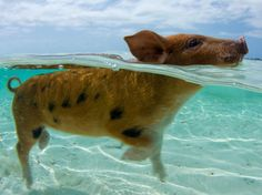 Famous Swimming Pigs in the Bahamas, Exuma Cays Pig Beach Bahamas, Exuma Bahamas, Pig Island, Island Girl, Feral Pig, Baby Animals, Cute Animals, Swimming Pigs, Bizarre Facts