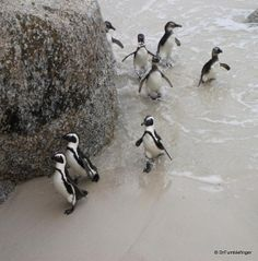 African Penguins, Cape Point, South Africa only an hour from Franschhoek and La Clé des Montagnes- 4 luxurious villas on working wine farm