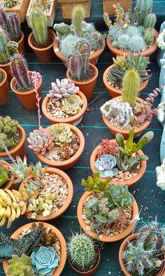succulents / crasas