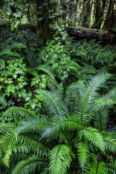 Ferns in Hoh Rainforest, by Bern Harrison.