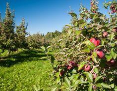 Une visite est toujours la bienvenue lors de la saison des pommes au Vergers Rockburn Orchards, situé à Rockburn, un village magnifique et sublime ! #verger