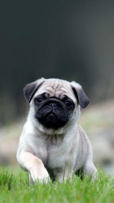Cute Pug Dog In Grass iPhone 6 wallpaper