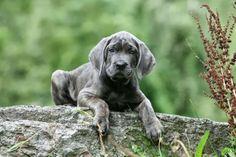 Psy rasy Wyżeł weimarski