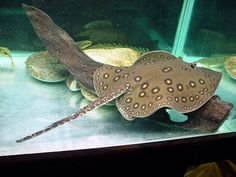 Potamotrygon motoro - Occelate river stingray. I think it would be really cool to have one of these