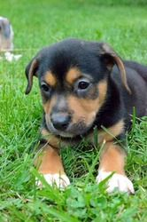 Twix Puppy Is An Adoptable Rottweiler Dog In Lakewood Oh One