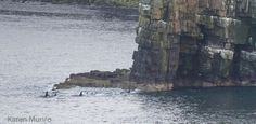 Amazing pics of the Orcas off NE Scotland by Karen Munro