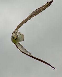 Falcon ~ photographer Keith Cochrane